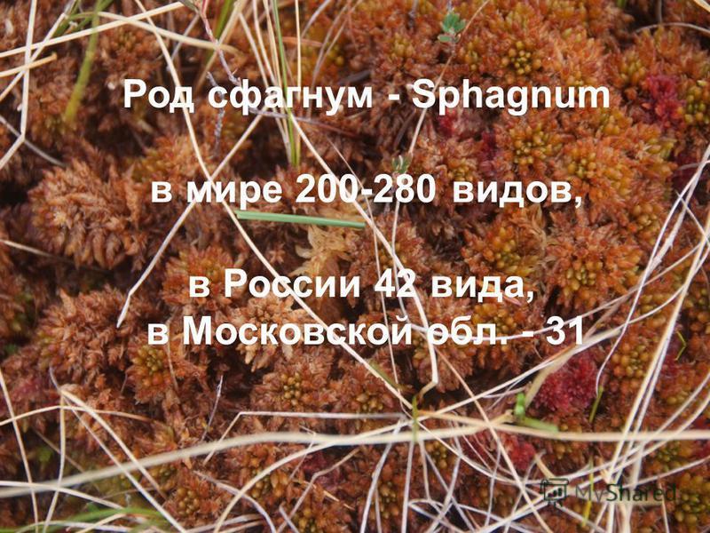 Род сфагнум - Sphagnum в мире 200-280 видов, в России 42 вида, в Московской обл. - 31