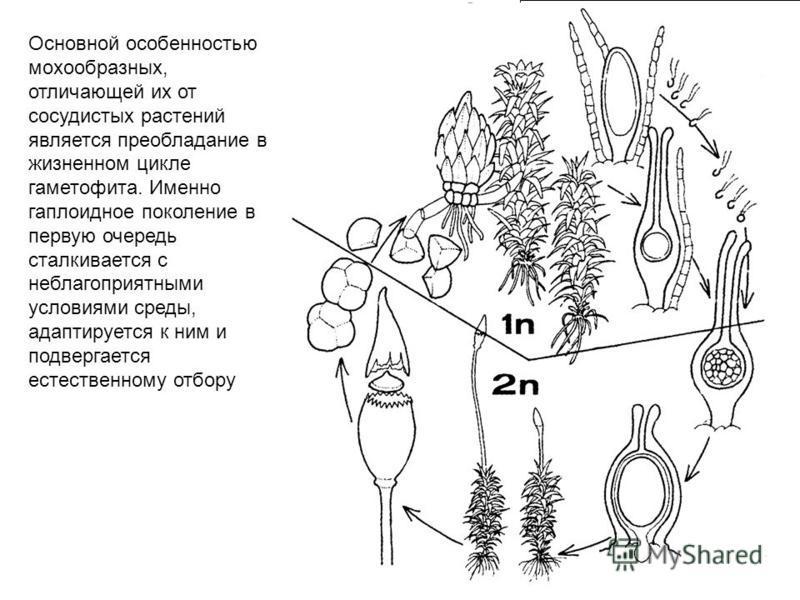 Основной особенностью мохообразных, отличающей их от сосудистых растений является преобладание в жизненном цикле гаметофита. Именно гаплоидное поколение в первую очередь сталкивается с неблагоприятными условиями среды, адаптируется к ним и подвергает