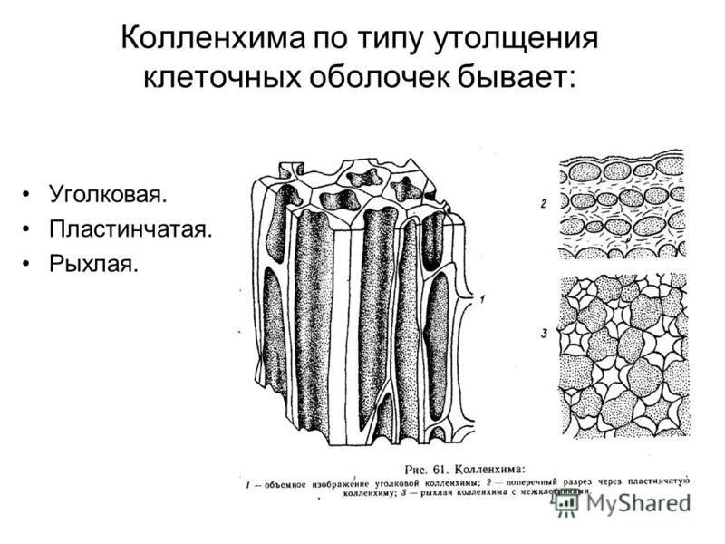 Колленхима по типу утолщения клеточных оболочек бывает: Уголковая. Пластинчатая. Рыхлая.
