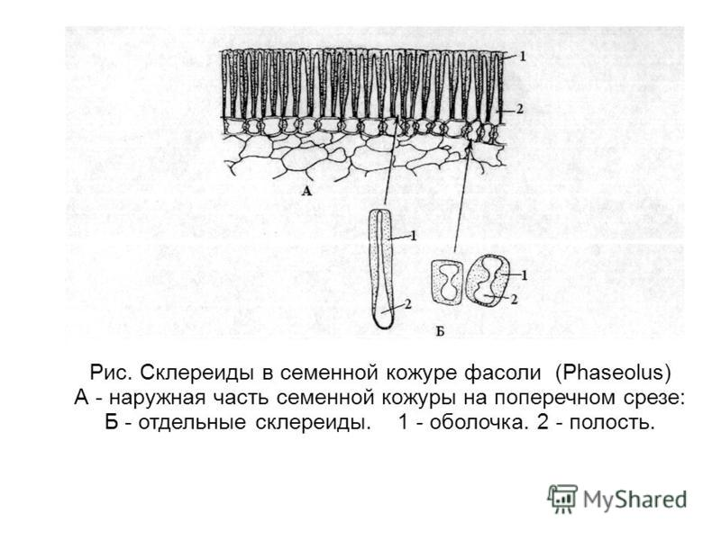 Рис. Склереиды в семенной кожуре фасоли (Phaseolus) А - наружная часть семенной кожуры на поперечном срезе: Б - отдельные склереиды. 1 - оболочка. 2 - полость.