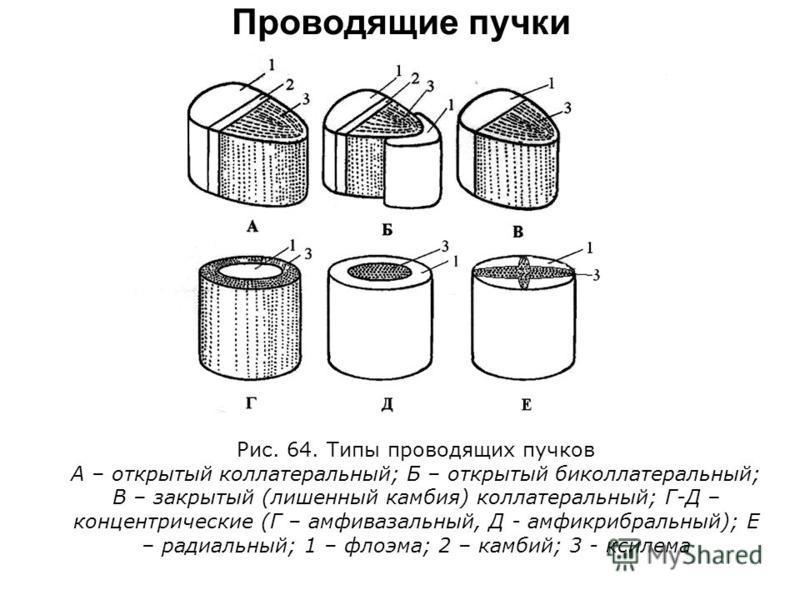 Рис. 64. Типы проводящих пучков А – открытый коллатеральный; Б – открытый биколлатеральный; В – закрытый (лишенный камбия) коллатеральный; Г-Д – концентрические (Г – амфивазальный, Д - амфикрибральный); Е – радиальный; 1 – флоэма; 2 – камбий; 3 - кси