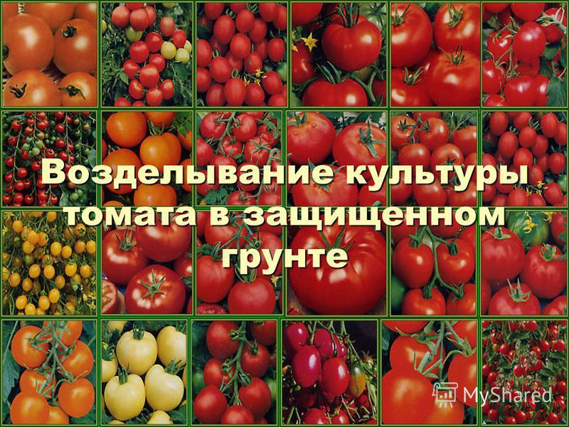 Возделывание культуры томата в защищенном грунте