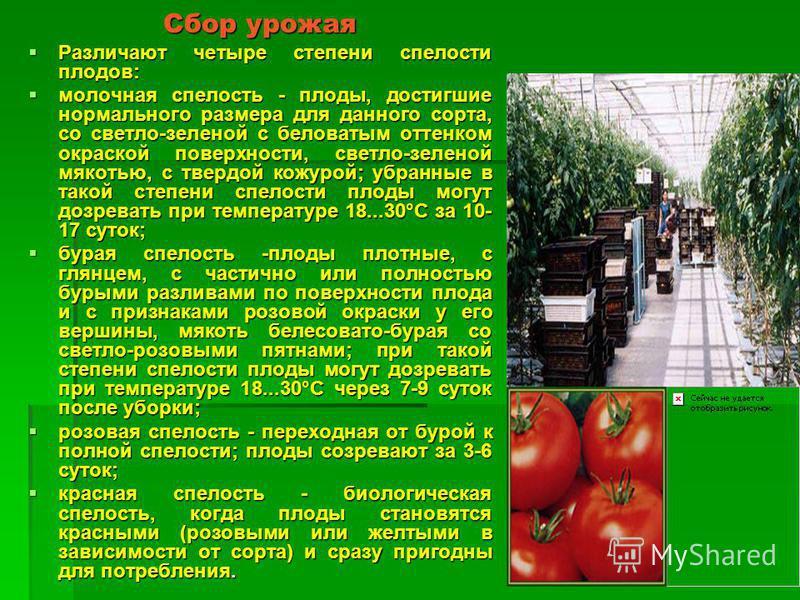 Сбор урожая Различают четыре степени спелости плодов: Различают четыре степени спелости плодов: молочная спелость - плоды, достигшие нормального размера для данного сорта, со светло-зеленой с беловатым оттенком окраской поверхности, светло-зеленой м