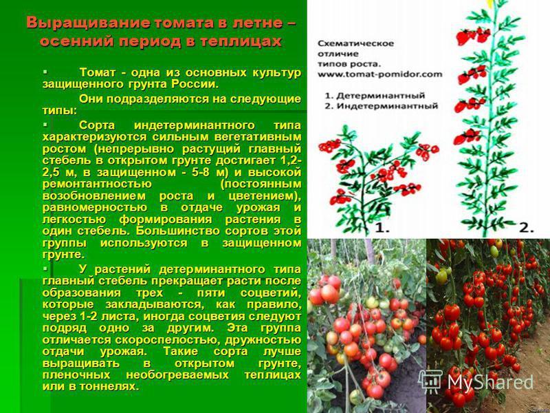Выращивание томата в летне