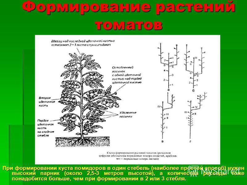 При формировании куста помидоров в один стебель (наиболее простой способ) нужен высокий парник (около 2,5-3 метров высотой), а количества рассады тоже понадобится больше, чем при формировании в 2 или 3 стебля. Формирование растений томатов