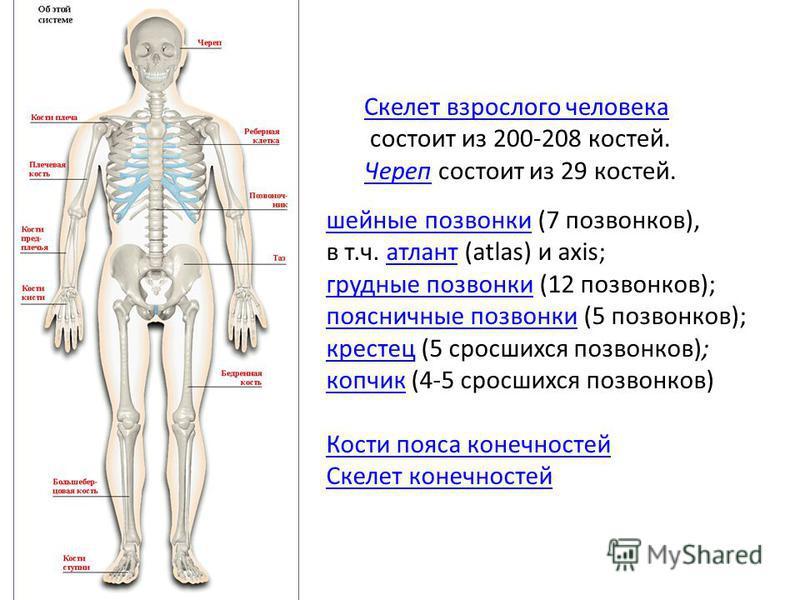 Скелет взрослого человека состоит из 200-208 костей. Череп Череп состоит из 29 костей. шейные позвонки шейные позвонки (7 позвонков), в т.ч. атлант (atlas) и axis;атлант грудные позвонки грудные позвонки (12 позвонков); поясничные позвонки поясничные