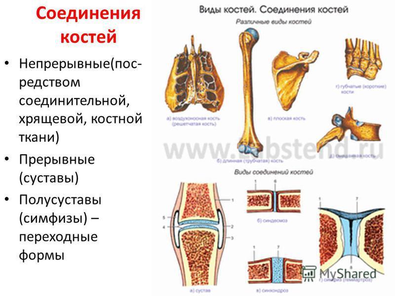 Соединения костей Непрерывные(посредством соединительной, хрящевой, костной ткани) Прерывные (суставы) Полусуставы (симфизы) – переходные формы