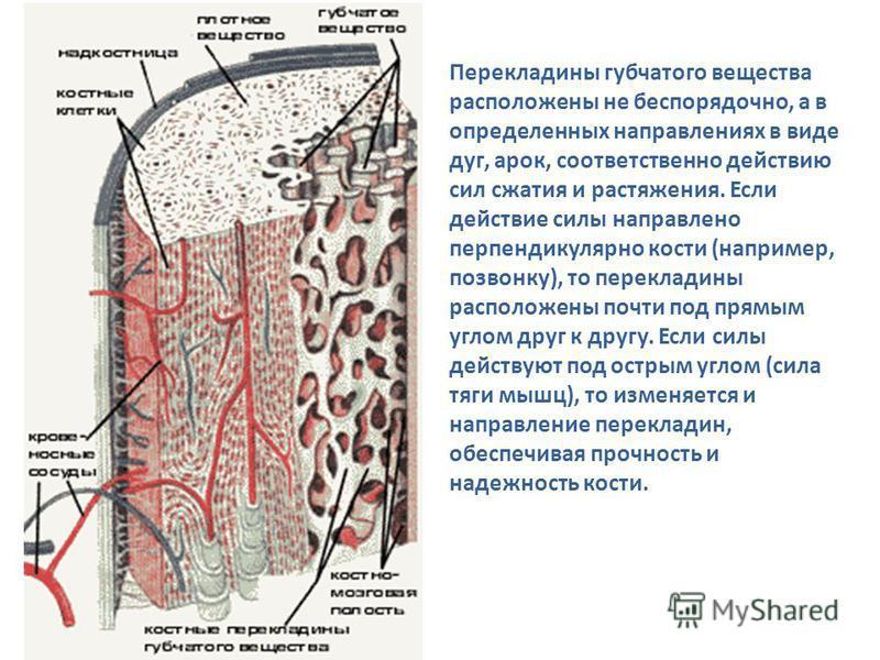 Перекладины губчатого вещества расположены не беспорядочно, а в определенных направлениях в виде дуг, арок, соответственно действию сил сжатия и растяжения. Если действие силы направлено перпендикулярно кости (например, позвонку), то перекладины расп