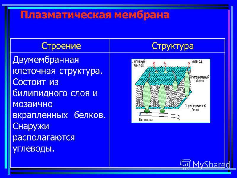 Плазматическая мембрана Строение Структура Двумембранная клеточная структура. Состоит из билипидного слоя и мозаично вкрапленных белков. Снаружи располагаются углеводы.
