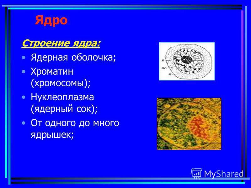 Ядро Строение ядра: Ядерная оболочка; Хроматин (хромосомы); Нуклеоплазма (ядерный сок); От одного до много ядрышек;