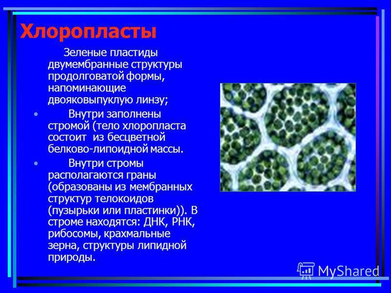 Хлоропласты Зеленые пластиды двумембранные структуры продолговатой формы, напоминающие двояковыпуклую линзу; Внутри заполнены стромой (тело хлоропласта состоит из бесцветной белково-липоидной массы. Внутри стромы располагаются граны (образованы из ме