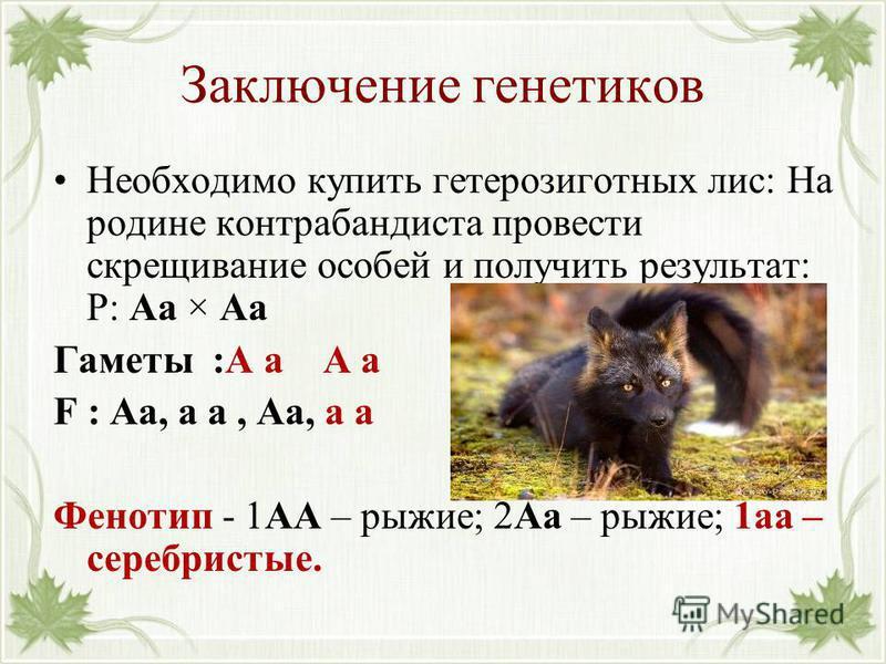 Заключение генетиков Необходимо купить гетерозиготных лис: На родине контрабандиста провести скрещивание особей и получить результат: Р: Аа × Аа Гаметы :А а А а F : Аа, а а, Аа, а а Фенотип - 1АА – рыжие; 2Аа – рыжие; 1 а – серебристые.