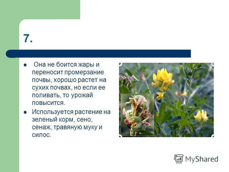 7. Она не боится жары и переносит промерзание почвы, хорошо растет на сухих почвах, но если ее поливать, то урожай повысится. Используется растение на зеленый корм, сено, сенаж, травяную муку и силос.