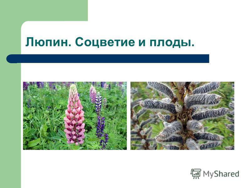 Люпин. Соцветие и плоды.