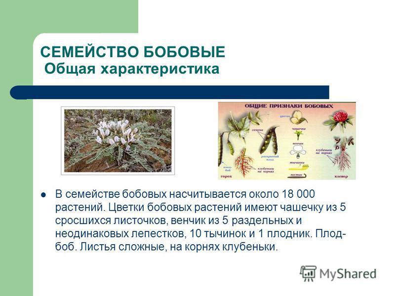 СЕМЕЙСТВО БОБОВЫЕ Общая характеристика В семействе бобовых насчитывается около 18 000 растений. Цветки бобовых растений имеют чашечку из 5 сросшихся листочков, венчик из 5 раздельных и неодинаковых лепестков, 10 тычинок и 1 плодник. Плод- боб. Листья