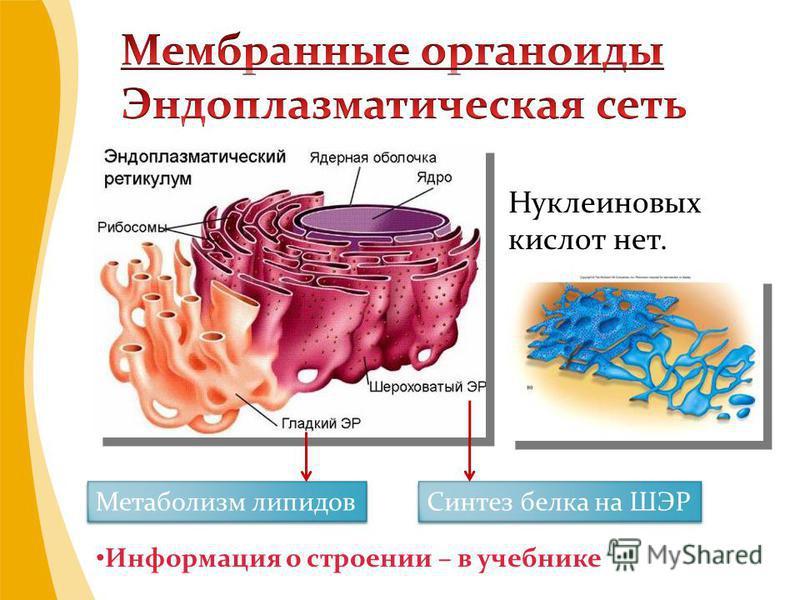 Нуклеиновых кислот нет. Метаболизм липидов Синтез белка на ШЭР Информация о строении – в учебнике