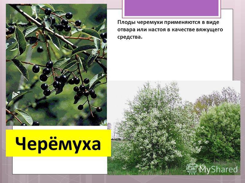 Черёмуха Плоды черемухи применяются в виде отвара или настоя в качестве вяжущего средства.