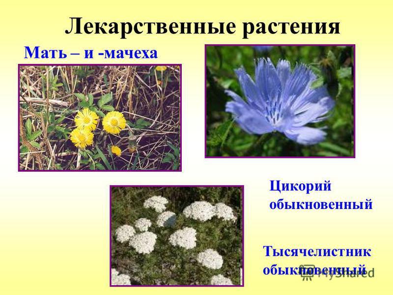 Лекарственные растения Мать – и -мачеха Цикорий обыкновенный Тысячелистник обыкновенный