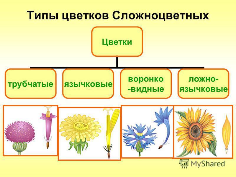 Типы цветков Сложноцветных Цветки трубчатые язычковые воронко -видные ложно- язычковые