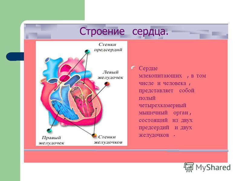 Строениесердца. Сердце млекопитающих, в том числе и человека, представляет собой полый четырехкамерный мышечный орган, состоящий из двух предсердий и двух желудочков.