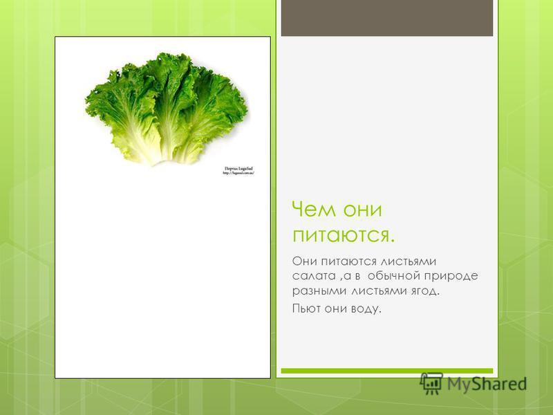 Чем они питаются. Они питаются листьями салата,а в обычной природе разными листьями ягод. Пьют они воду.