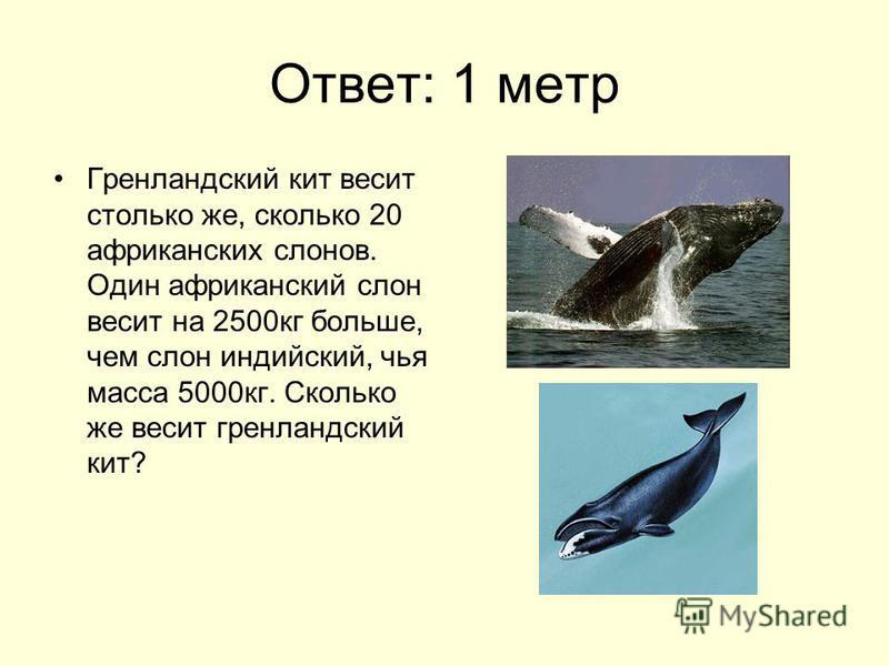 Ответ: 1 метр Гренландский кит весит столько же, сколько 20 африканских слонов. Один африканский слон весит на 2500 кг больше, чем слон индийский, чья масса 5000 кг. Сколько же весит гренландский кит?