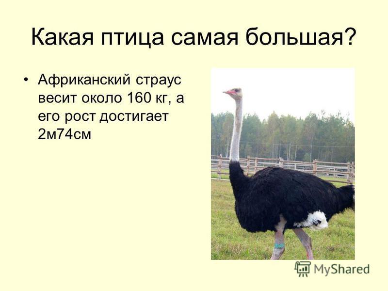 Какая птица самая большая? Африканский страус весит около 160 кг, а его рост достигает 2 м 74 см