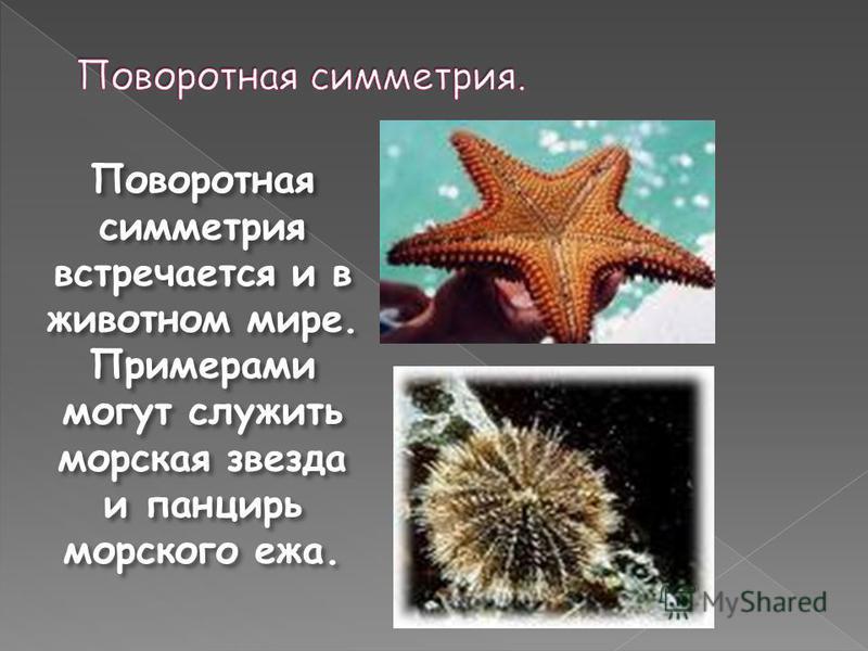 Поворотная симметрия встречается и в животном мире. Примерами могут служить морская звезда и панцирь морского ежа.