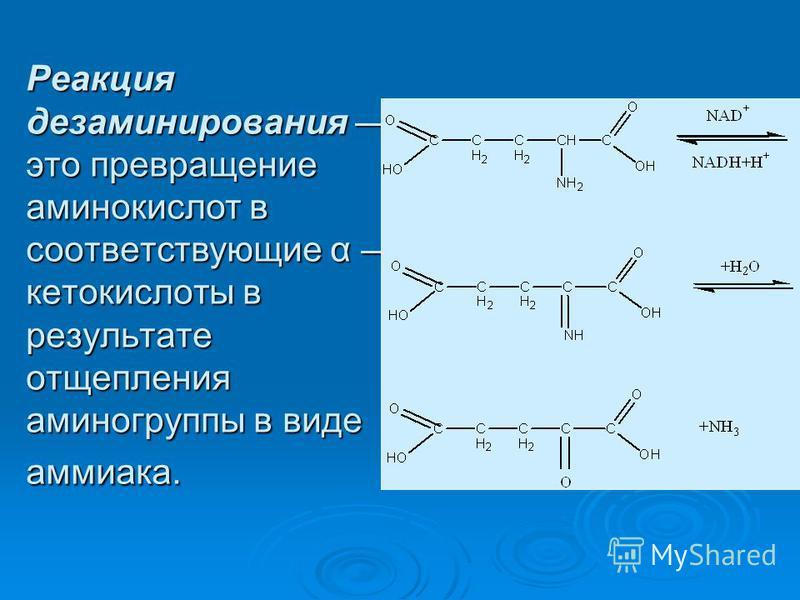 Реакция дезаминирования это превращение аминокислот в соответствующие α кетокислоты в результате отщепления аминогрупппы в виде аммиака.