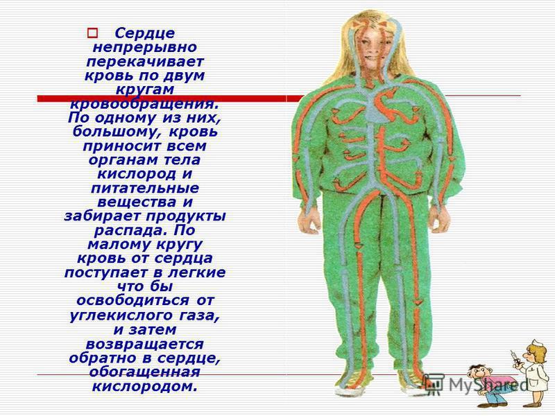 Сердце непрерывно перекачивает кровь по двум кругам кровообращения. По одному из них, большому, кровь приносит всем органам тела кислород и питательные вещества и забирает продукты распада. По малому кругу кровь от сердца поступает в легкие что бы ос