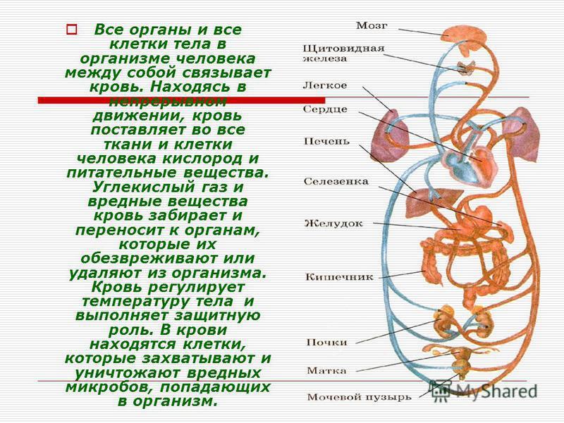 Все органы и все клетки тела в организме человека между собой связывает кровь. Находясь в непрерывном движении, кровь поставляет во все ткани и клетки человека кислород и питательные вещества. Углекислый газ и вредные вещества кровь забирает и перено