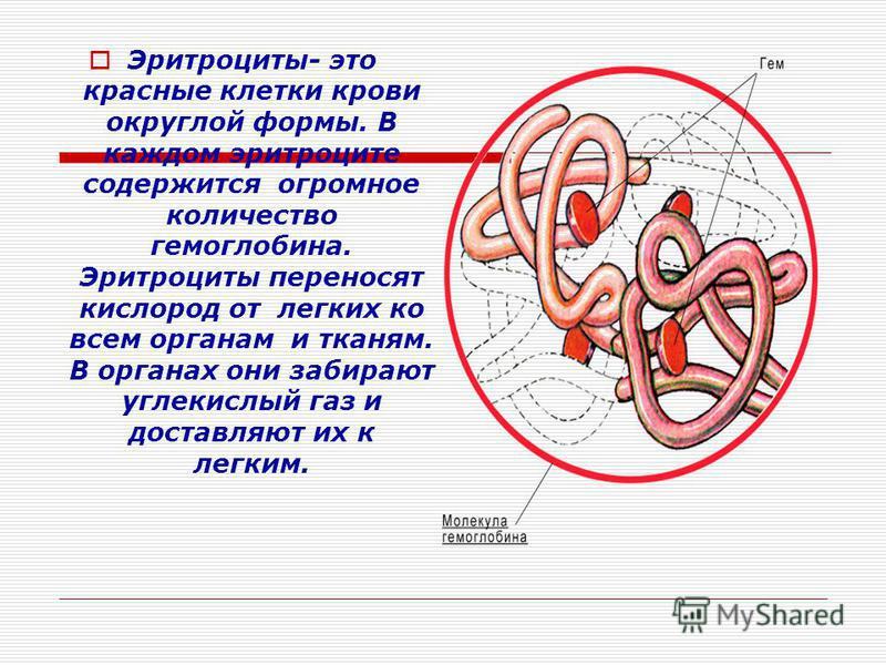 Эритроциты- это красные клетки крови округлой формы. В каждом эритроците содержится огромное количество гемоглобина. Эритроциты переносят кислород от легких ко всем органам и тканям. В органах они забирают углекислый газ и доставляют их к легким.
