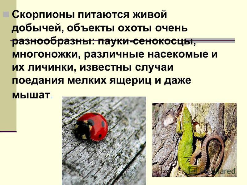 Скорпионы питаются живой добычей, объекты охоты очень разнообразны: пауки-сенокосцы, многоножки, различные насекомые и их личинки, известны случаи поедания мелких ящериц и даже мышат.