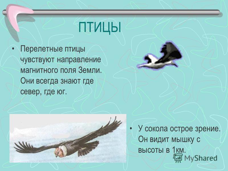 ПТИЦЫ Перелетные птицы чувствуют направление магнитного поля Земли. Они всегда знают где север, где юг. У сокола острое зрение. Он видит мышку с высоты в 1 км.
