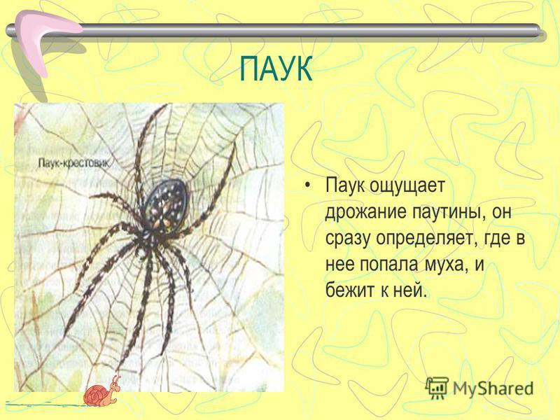 ПАУК Паук ощущает дрожание паутины, он сразу определяет, где в нее попала муха, и бежит к ней.