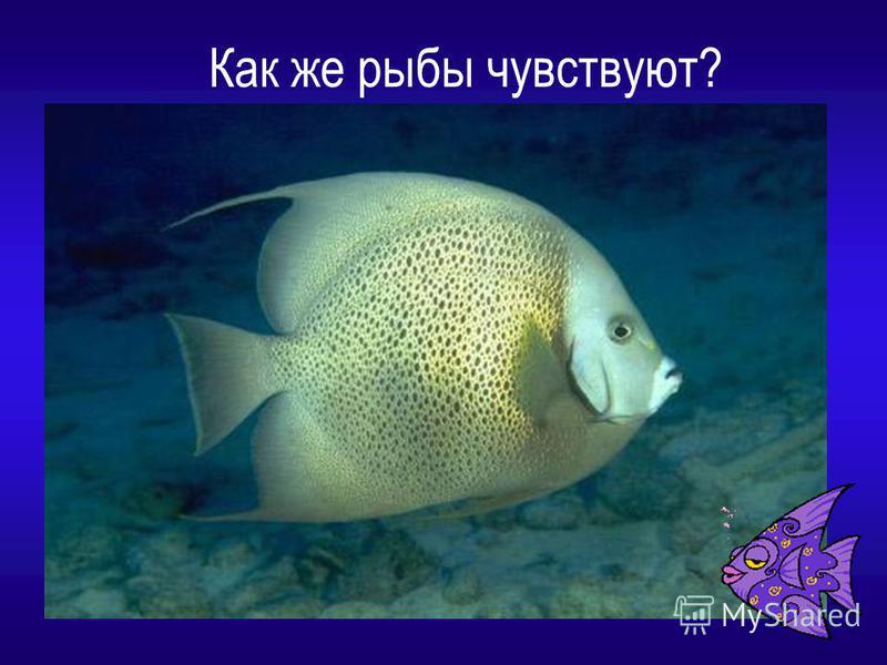 Как же рыбы чувствуют?