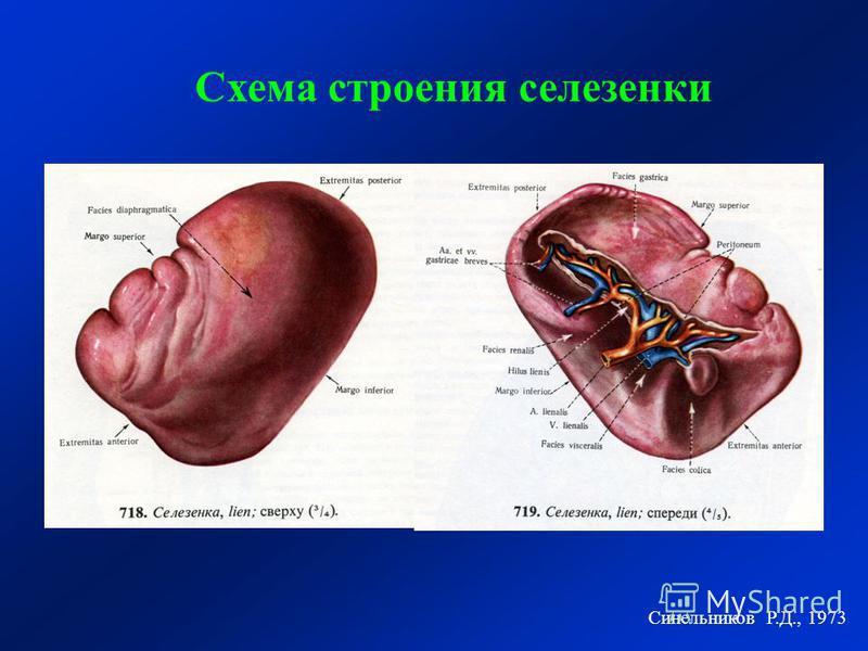 Синельников Р.Д., 1973 Схема строения селезенки