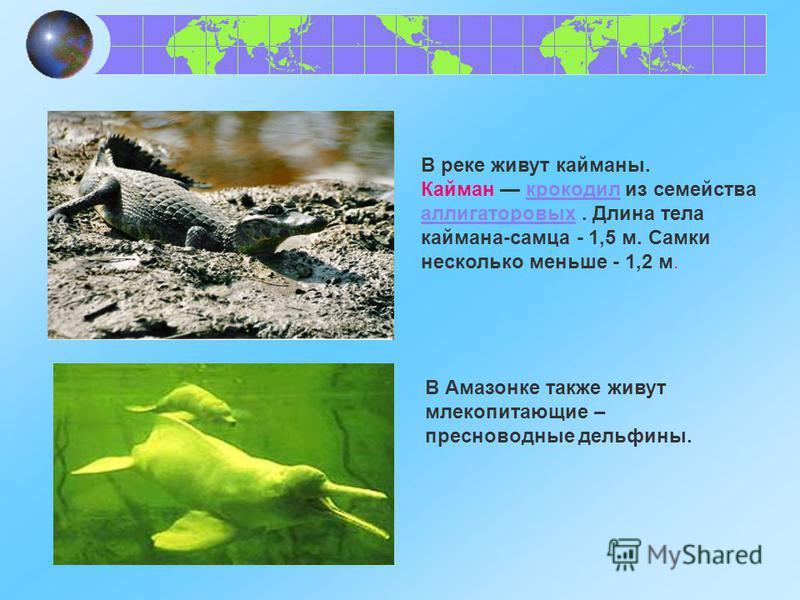 В реке живут кайманы. Кайман крокодил из семейства аллигаторовых. Длина тела каймана-самца - 1,5 м. Самки несколько меньше - 1,2 м.крокодил аллигаторовых В Амазонке также живут млекопитающие – пресноводные дельфины.