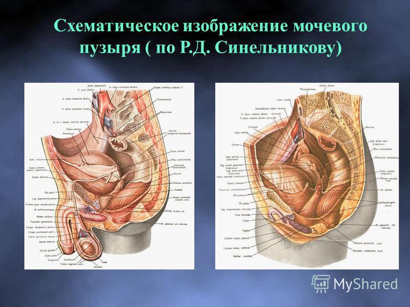 Схематическое изображение мочевого пузыря ( по Р.Д. Синельникову)