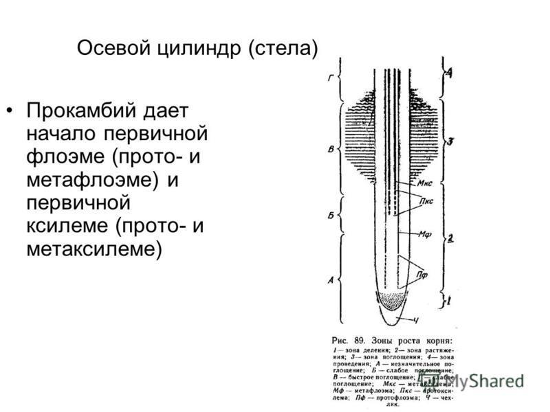 Осевой цилиндр (стела) Прокамбий дает начало первичной флоэме (про то- и метафлоэме) и первичной ксилеме (про то- и метаксилеме)