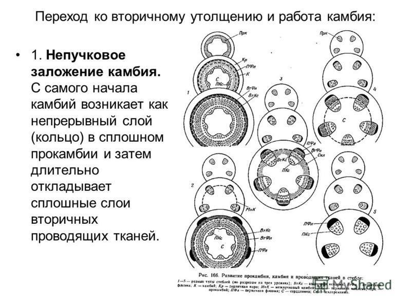 Переход ко вторичному утолщению и работа камбия: 1. Непучковое заложение камбия. С самого начала камбий возникает как непрерывный слой (кольцо) в сплошном прокамбии и затем длительно откладывает сплошные слои вторичных проводящих тканей.
