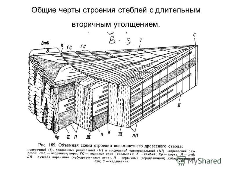 Общие черты строения стеблей с длительным вторичным утолщением.