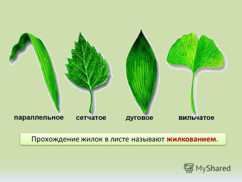 Прохождение жилок в листе называют жилкованием.