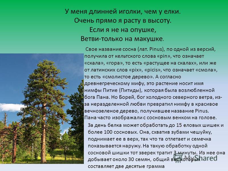У меня длинней иголки, чем у елки. Очень прямо я расту в высоту. Если я не на опушке, Ветви-только на макушке. Свое название сосна (лат. Pinus), по одной из версий, получила от кельтского слова «pin», что означает «скала», «гора», то есть «растущее н