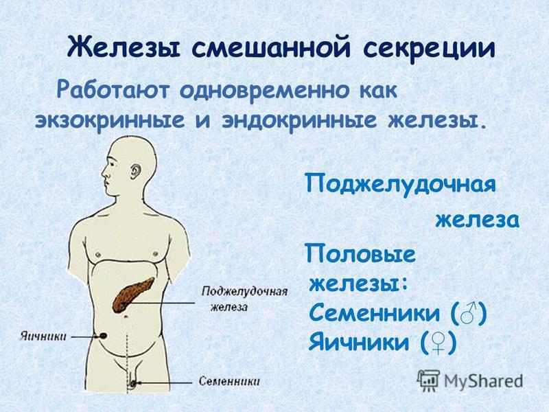 Железы смешанной секреции Работают одновременно как экзокринные и эндокринные железы. Поджелудочная железа Половые железы: Семенники ( ) Яичники ( )