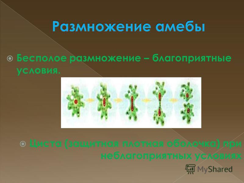 Бесполое размножение – благоприятные условия. Циста (защитная плотная оболочка) при неблагоприятных условиях
