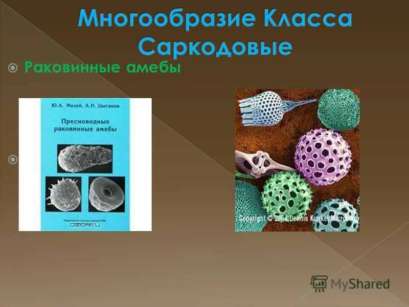 Раковинные амебы