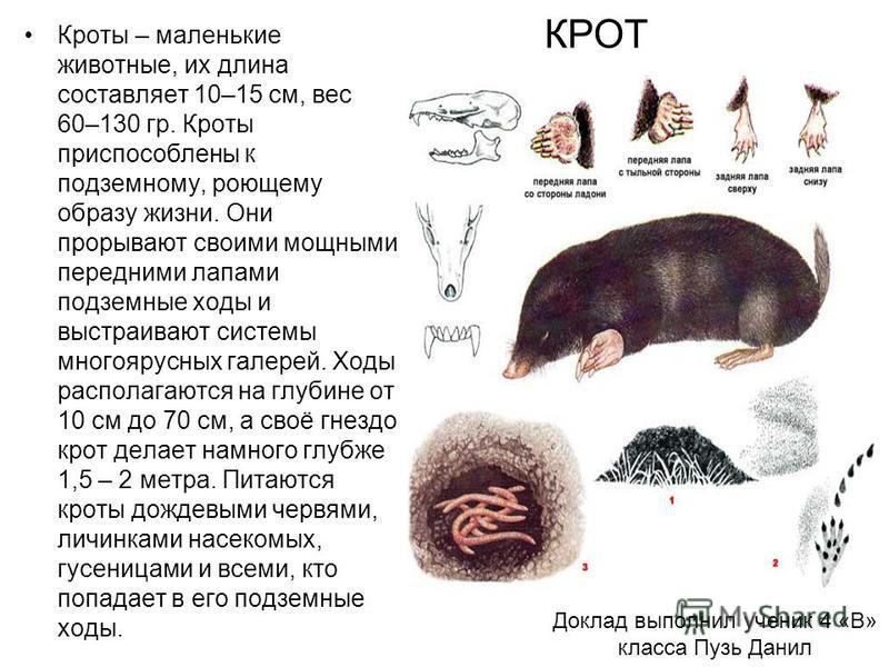 Доклад выполнил ученик 4 «В» класса Пузь Данил Кроты – маленькие животные, их длина составляет 10–15 см, вес 60–130 гр. Кроты приспособлены к подземному, роющему образу жизни. Они прорывают своими мощными передними лапами подземные ходы и выстраивают
