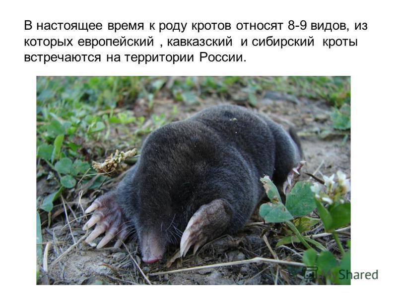 В настоящее время к роду кротов относят 8-9 видов, из которых европейский, кавказский и сибирский кроты встречаются на территории России.