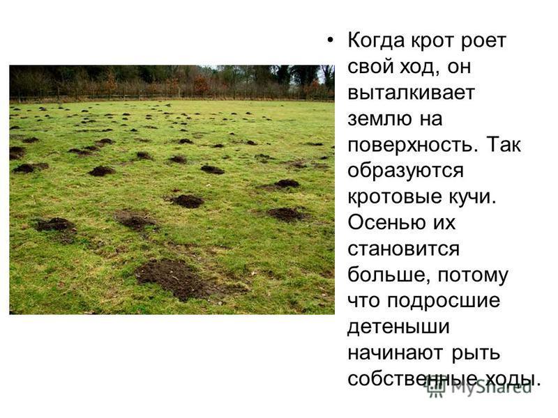 Когда крот роет свой ход, он выталкивает землю на поверхность. Так образуются кротовые кучи. Осенью их становится больше, потому что подросшие детеныши начинают рыть собственные ходы.